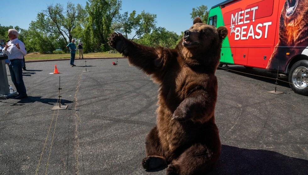 «TAG»: Kodiakbjørnen Tag er ikke ukjent for kameraene. Han har tidligere dukket opp i TV-serien «Yellowstone» og «See» på Apple TV, med Jason Mamoa. Foto: Renée C. Byer / The Sacramento Bee / AP / NTB