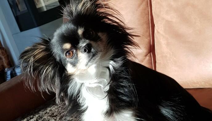 BROWNIE: Hunden Brownie ble to år gammel. Han vil bli savnet veldig av familien. Foto: Privat