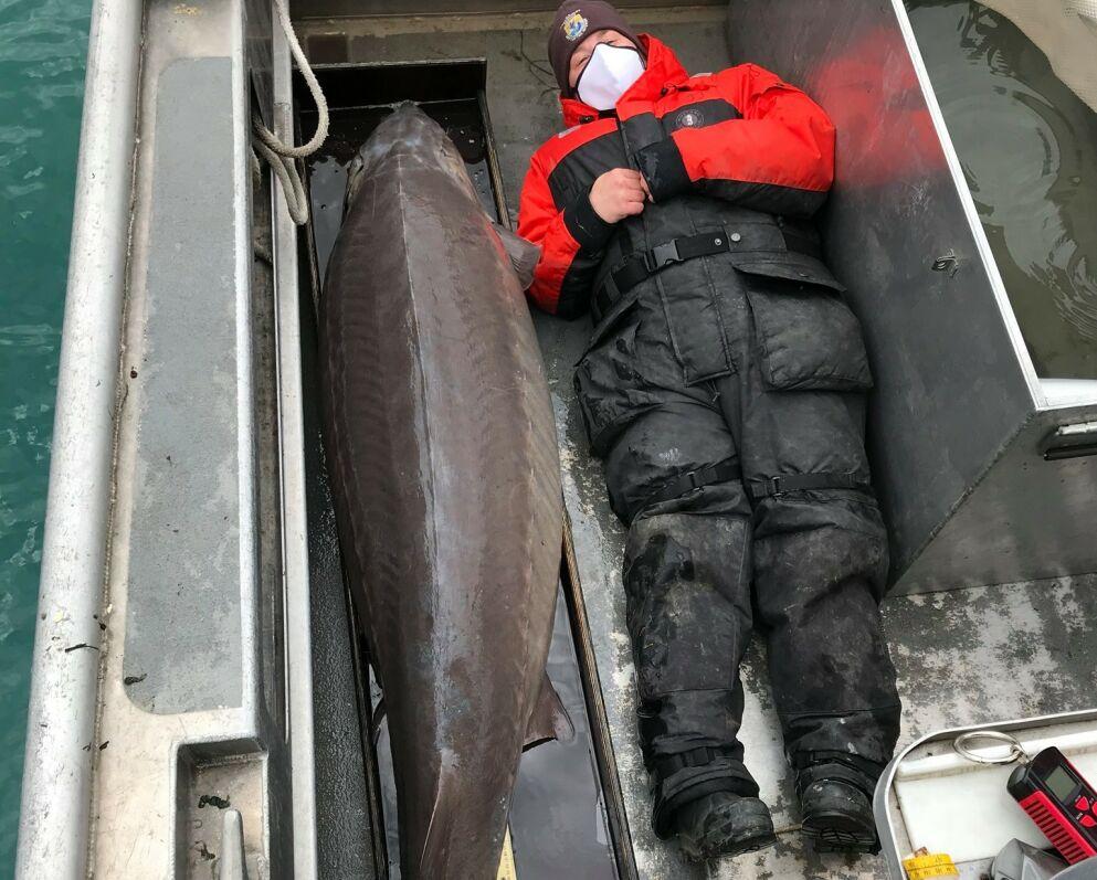 KJEMPEFANGST: Støren var 280 centimeter lang og 127 kilogram tung. Foto: Jason Fischer/USFWS