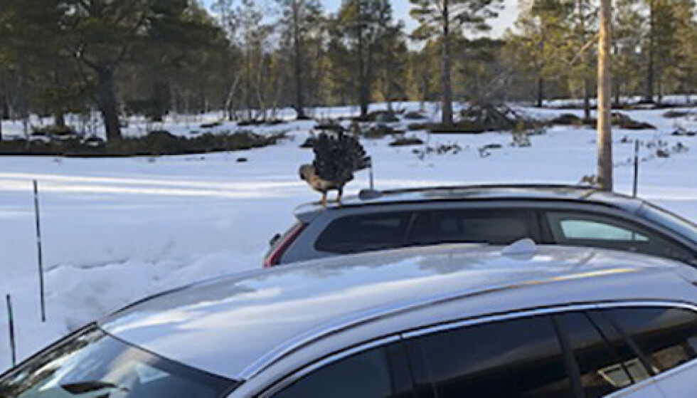 ILLSINT: En mann i i Oppdal måtte låse seg inne i bilen sin. En meget sint tiur plager mennesker og hunder på stedet. Foto: Sissel Kilsand / NTB