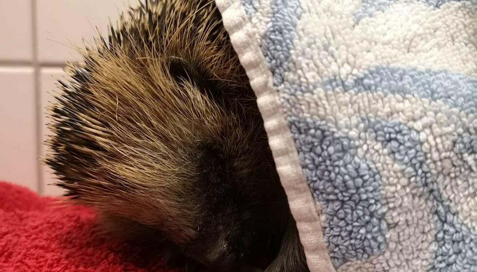 MÅTTE AVLIVES: Pinnsvinet, som fikk navnet Sniff, ble avlivet fredag ettermiddag. Foto: Privat