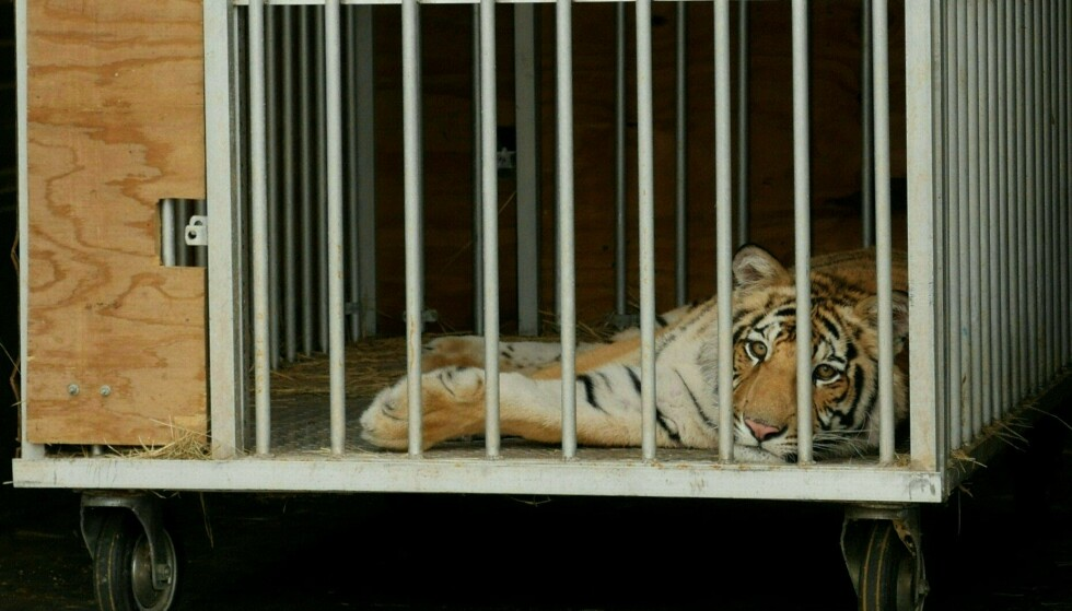 """The nine-month-old Bengal tiger called """"India"""" Found in a cage after being captured by authorities in Houston, Texas on May 16, 2021.  The tiger will be taken to the Cleveland Amori Black Beauty Farm in Murchison, Texas.  - Called the nine-month-old Bengal tiger """"India"""" It was not seen roaming the suburbs of suburban Houston until a week ago when it was captured unharmed and transferred to an animal sanctuary on May 16, 2021, police said.  (Photo by Francois PICARD / AFP)"""