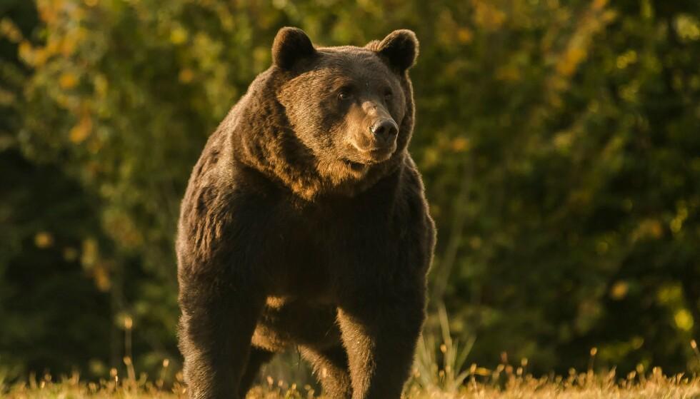 BRUNBJØRN: Det var en brunbjørn som angrep Allan Minish i Alaska. Illustrasjonsbilde: AFP