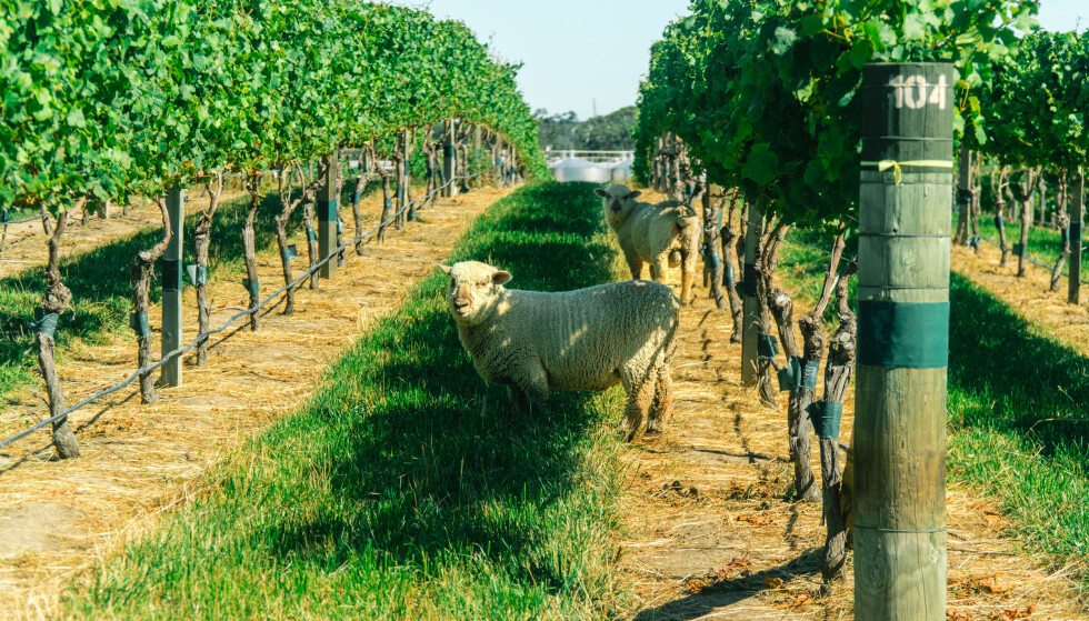 FRODIG OG KJØLIG: Det lett gjenkjennelige vinområdet Marlborough er New Zealands klart beste representant for druen sauvignon blanc. Foto: Shutterstock/NTB