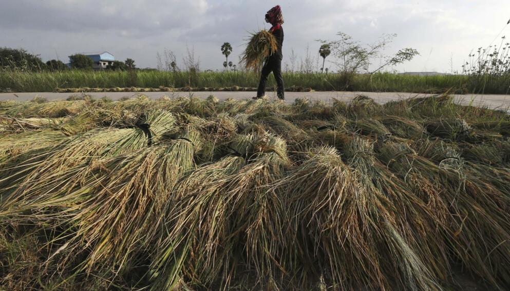 VIN?: En bonde høster ris i Kambotsja. Kanskje den skal bli vin? Illustrasjonfoto: Heng Sinith / AP / NTB