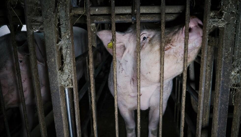 ALVORLIG SKADDE DYR: På nesten alle farmene vi inspiserer avdekker vi alvorlig skadde dyr. Vi har blant annet besøkt en grisefarm der flere av grisene var halte eller lamme i beina, skriver artikkelforfatterene. Foto: Nettverk for dyrs frihet