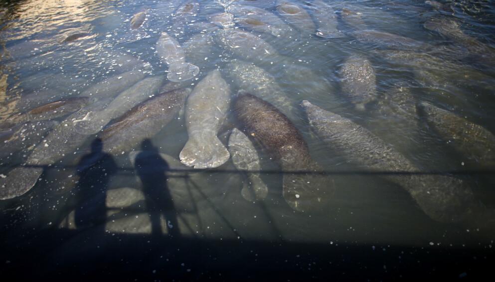 I FARE: Bestanden av sjøkuer i Florida er i alvorlige problemer. Hele ti prosent av bestanden har dødd bare i år, og en dyster rekord ventes å bli ettertrykkelig slått før året er omme. Her fra en tidligere anledning. Foto: Reuters / NTB