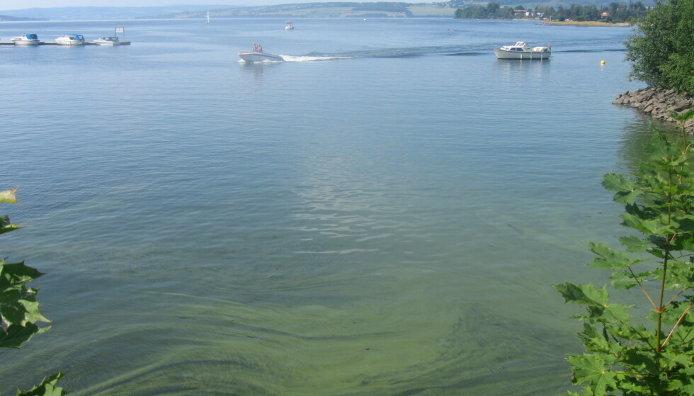 GRØNN: De siste somrene har det vært tendenser til økende forekomst av alger i Norges største innsjø, Mjøsa. Spesielt i 2019 var fargen på innsjøen så godt som grønn. Foto: Jarl-Eivind Løvik, NIVA