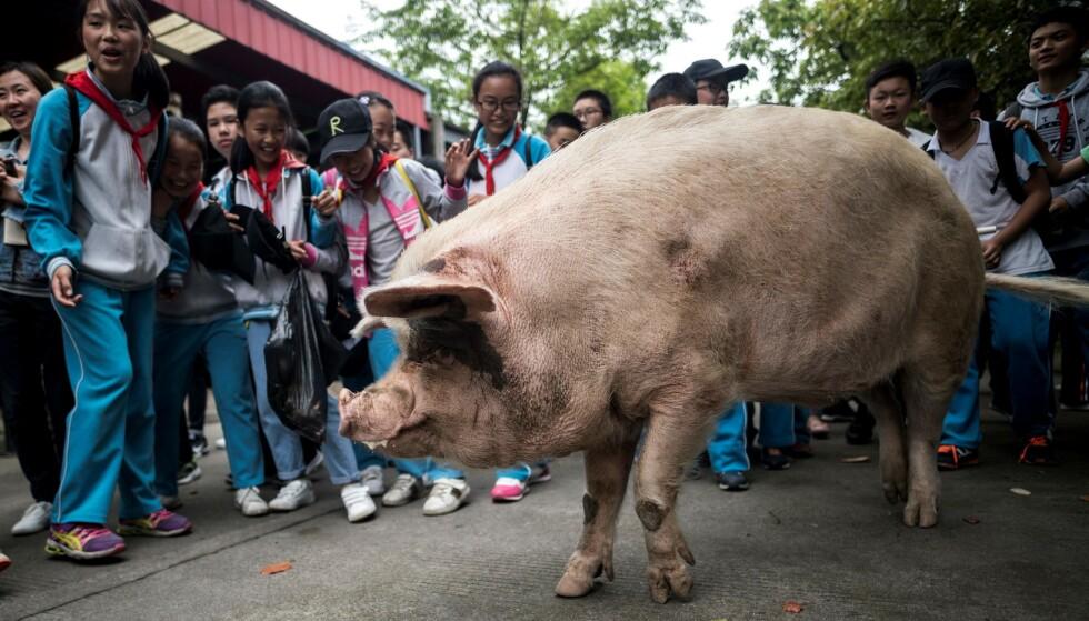 KJENDISGRIS: Zhu Jianqiang, som betyr «sterk gris», ble 14 år gammel. Han overlevde jordskjelvet med en styrke på 7,9 i Sichuan-provinsen sørvest i landet. Foto: NTB / AFP PHOTO / Johannes EISELE