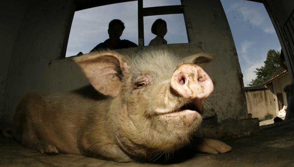 ÅRETS DYR: Grisen ble kåret til «årets dyr» i Kina i 2008 fordi den «tydelig illustrerte håpet om å aldri gi opp». Foto: NTB / AP