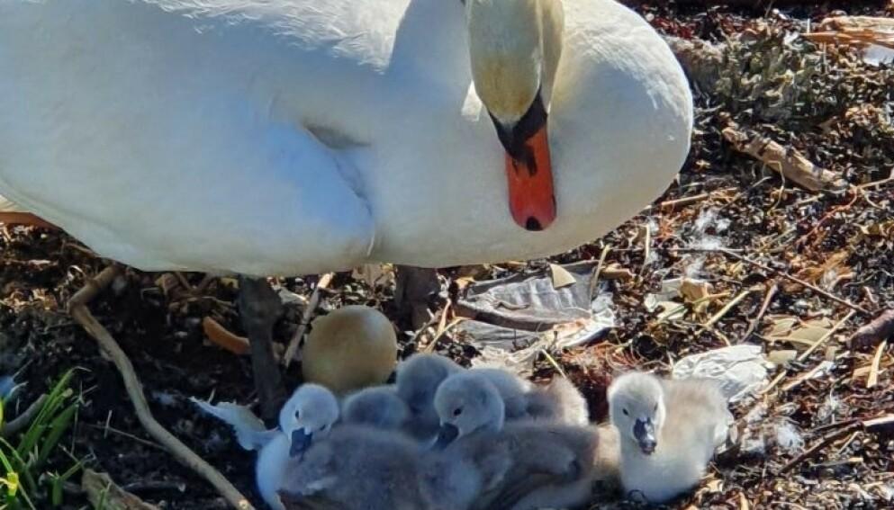 SVANEFAMILIE: Svanemora og svaneungene avbildet 4. juni. Foto: Privat