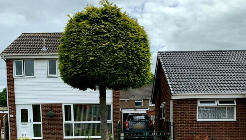 SLIK SER DET IKKE UT LENGER: Et tre i et nabolag i England har fått massiv oppmerksomhet etter en heftig nabokrangel. Foto: SWNS / Scanpix
