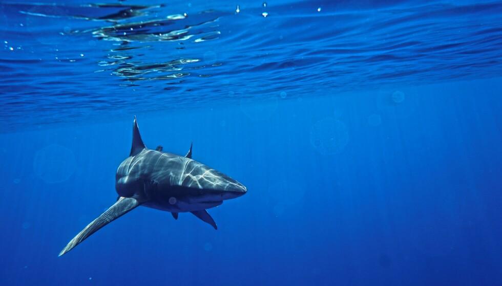 FARE: Venneparet er vandt til å svømme med haier i alle størrelser. Likevel ble det skremmende da haiene fulgte etter dem da de fisket med spyd. Foto: Privat.