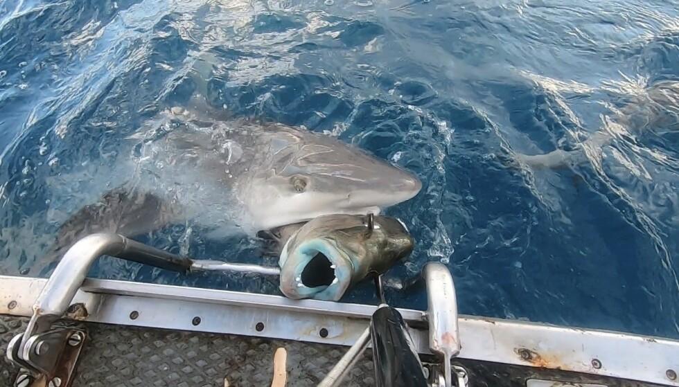 ANGREP: De møtte på mange haier på turen deres. Her kom det en hai i bauen av båten, som angrep en annen fisk. Foto: Privat.