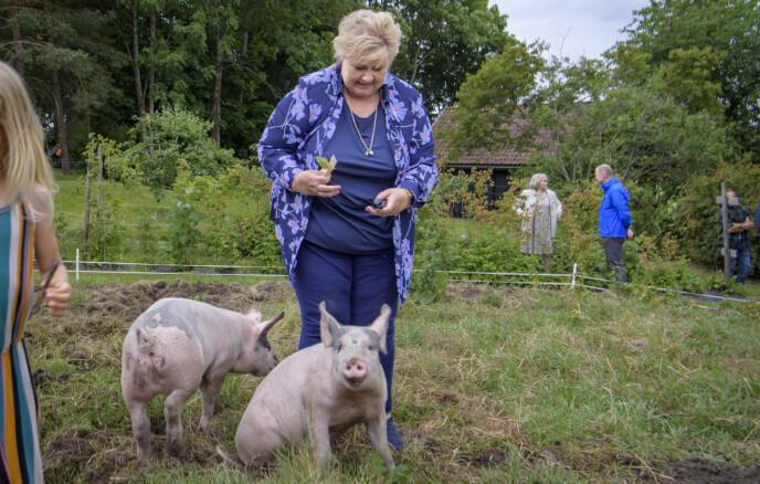 VALGFLESK: Her besøker Erna grisene Gisse og Ida G. på Smidsrød gård på Nøtterøy. Erna Solerg og Høyre har en nyoppussa valgkampbuss og turnerer nå Øst- og Sørlandet. Foto: Lars Eivind Bones / Dagbladet