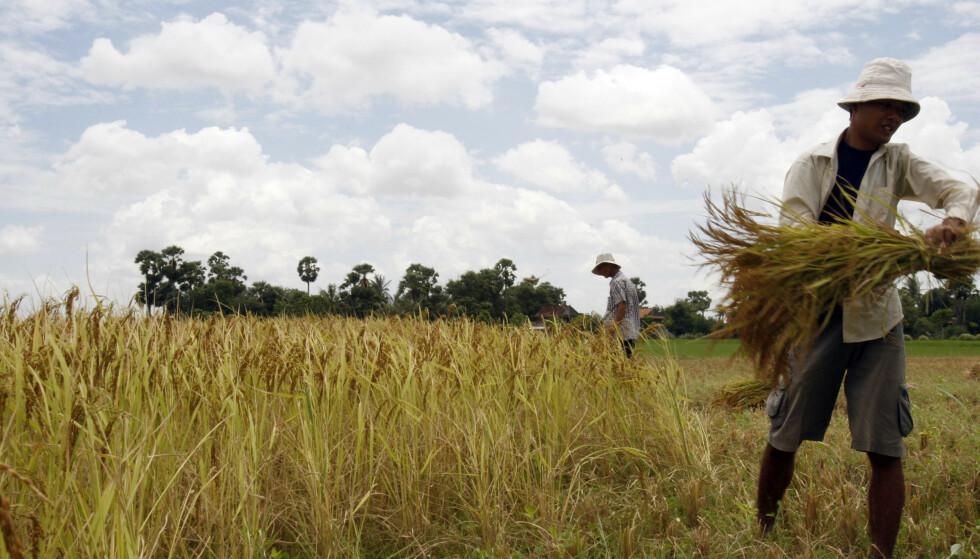 RIS: Kambodsjanske bønder høster inn ris på en rismark i Kampot-provinsen, i nærheten av landsbyen Thnong. Illustrasjonsbilde. Foto: AP Heng Sinith