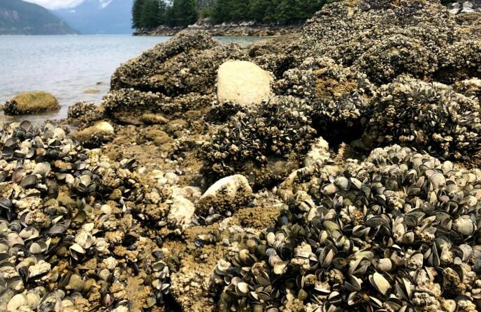 Funghi: gran parte della costa canadese del Pacifico è coperta di ostriche morte.  Foto: Christopher Harley