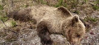 Bjørnemassakre i Indre Troms