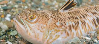 Slår alarm om skrekkfisk