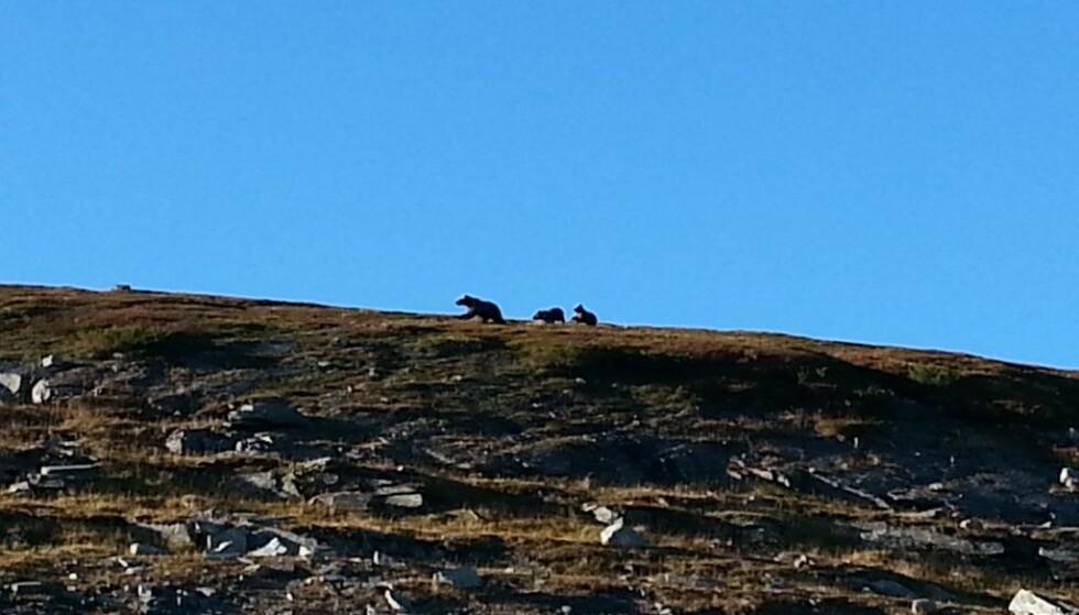 FOR LITEN: Rovdyrsonen for bjørn i Troms er liten, og det finnes ingen buffersone. Omgjort til forståelig arealmål så kan en sprek person krysse hele bjørnesonen på to dager, skriver artikkelforfatteren. Her er tre bjørner i Øvre Dividal. Foto: Per Erik Kristensen.