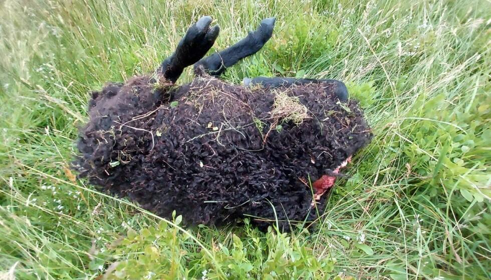 HALSHOGD: En turgåer i Hardanger fant et lam uten hals og hode. Statens naturoppsyn tror noen har skåret det av med kniv. Foto: Kenneth Offerdal