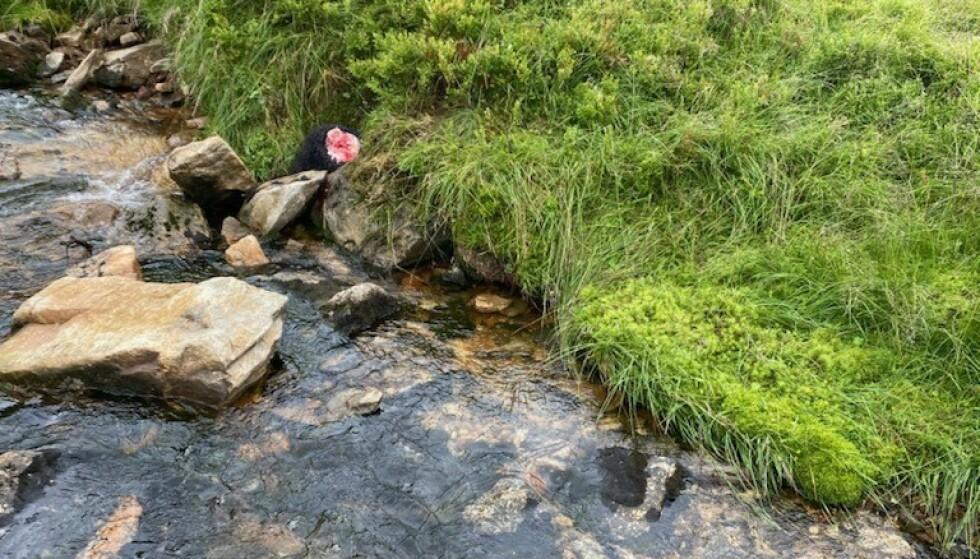 TUROMRÅDE: Lammet ble funnet ved en liten elv kun tre meter fra turstien. Foto: Kenneth Offerdal