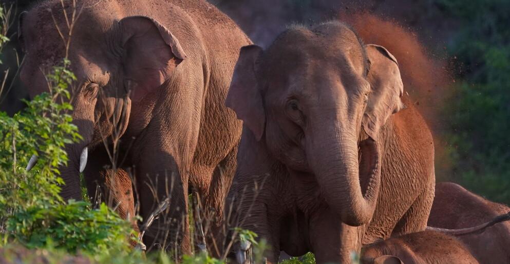 LANG VANDRING: En elefantflokk i Kina har tilbakelagt over 500 kilometer på sin ferd. Nå ser det ut til at de er på vei tilbake der de kom fra. Foto: China Daily via REUTERS / NTB