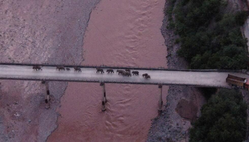 SNUDD: CNN melder at elefantene er på vei tilbake til naturreservatet Xishuangbanna i Yunnan-provinsen. Foto: China Daily via REUTERS / NTB