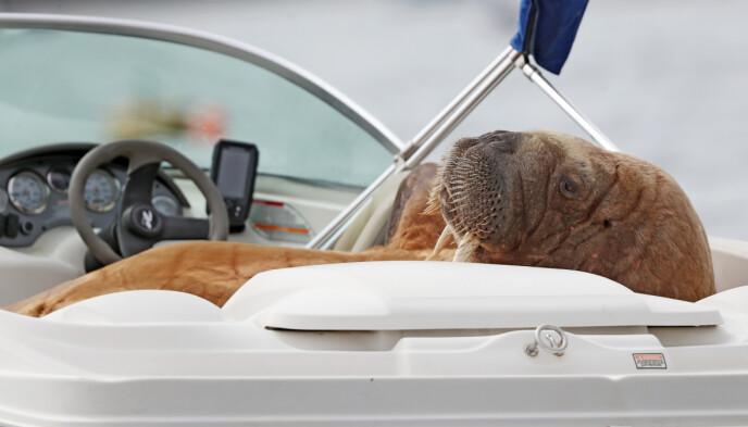 BUCKLEY: Wally sembra sdraiato a godersi la vita al posto di guida.  Foto: NTB / Niall Carson