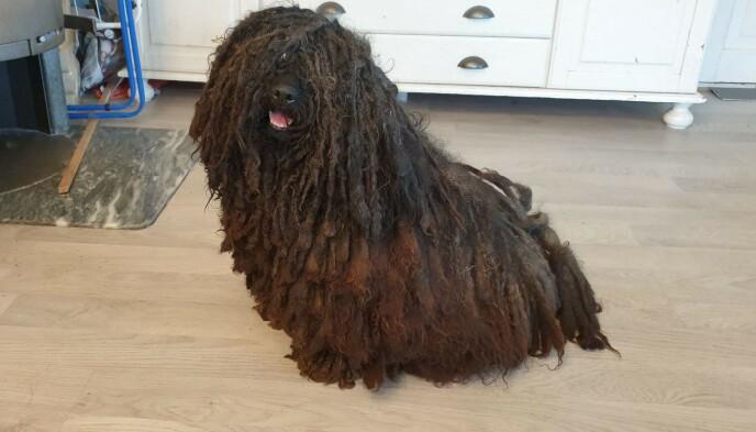 HÅRLISSER: Hunderasen puli er kjent for sine hårlisser, noe også Hedda hadde tidligere. Foto: Privat