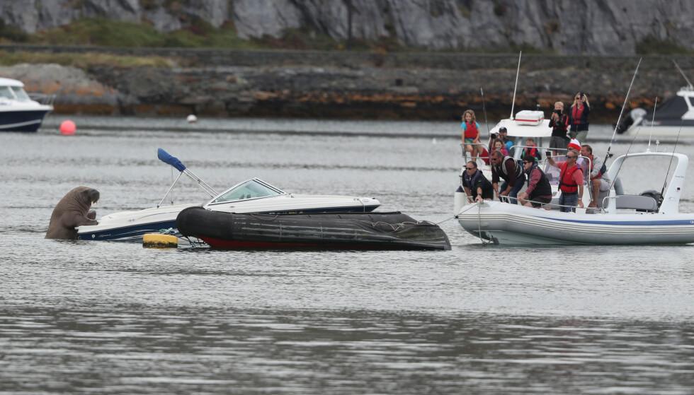 Avvicinarsi: le persone hanno cercato di avvicinarsi a un tricheco amante delle barche per portarlo su una barca un po' meno preziosa.  Foto: NTB / Niall Carson