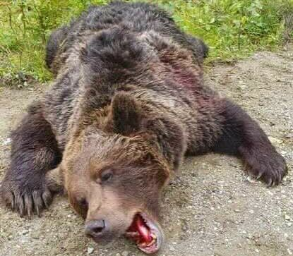 DEAD: The bear died after four shots.  Photo: Private