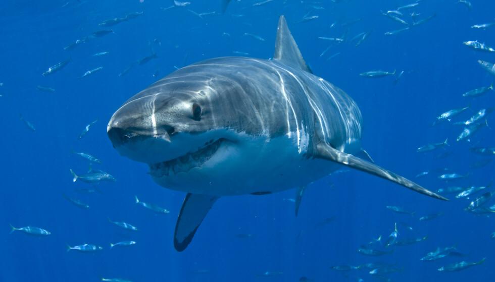 FRISTENDE MATFAT: Hvithaien kan trekke nordover blant annet på grunn av tunfisk og seler. Foto: Joe Marino / UPI / Shutterstock