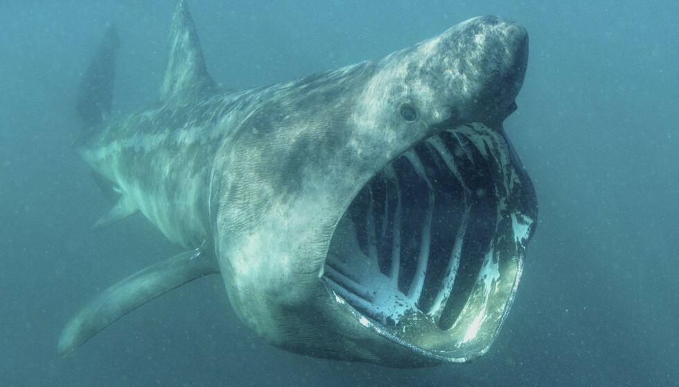 ENORM: Haiarten Brugde er den største hai-arten som kan forekomme i norsk farvann. Bilde: Splashdown / REX / NTB