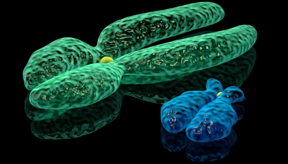 SELVUTSLETTET: Y-kromosomet, eller det mannlige kjønnskromosomet, har gjennom millioner av år forvitret. Slik ser Y-kromosomet (blått) ut i forhold til det kvinnelige X-kromosomet (grønt). ILLUSTRASJON: Knorre / Shutterstock / NTB