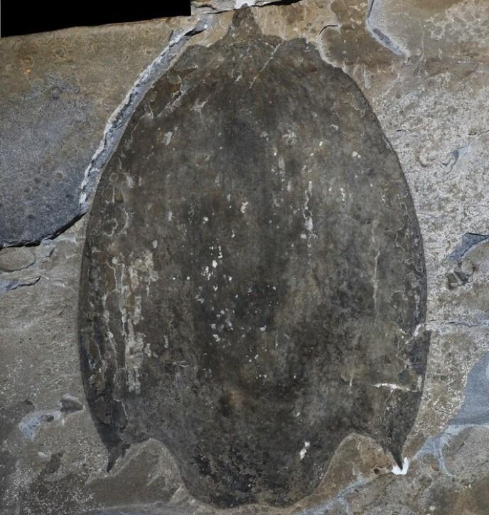 FOSSIL: Slik ser fossilen av titanokorys gainesi ut: Foto: Jean-Bernard Caron, © Royal Ontario Museum