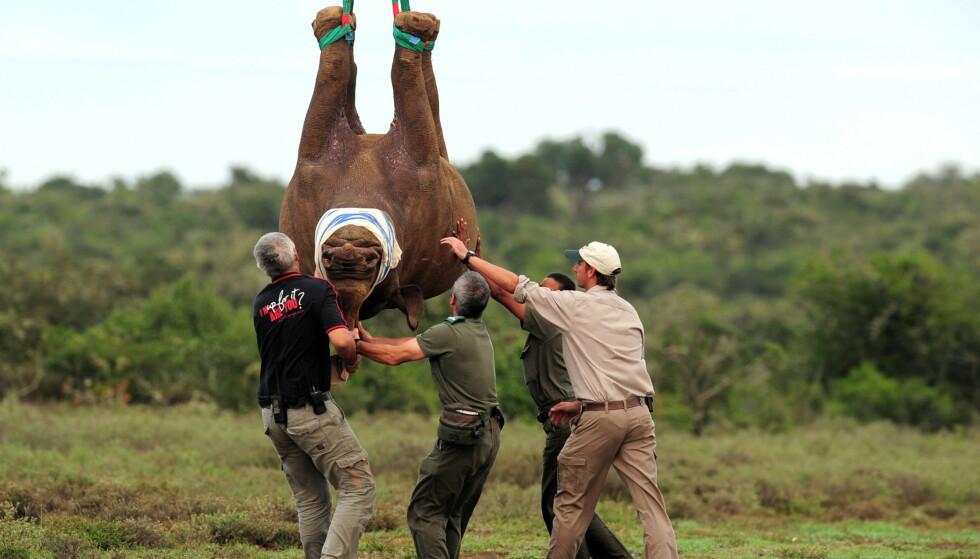 FRAKTES: Svarte nesehorn er en utrydningstruet dyreart. Flere av dyrene fraktes flere tusen kilometer hvert år for å sikre at arten ikke dør ut. Foto: Gallo Images/REX/NTB