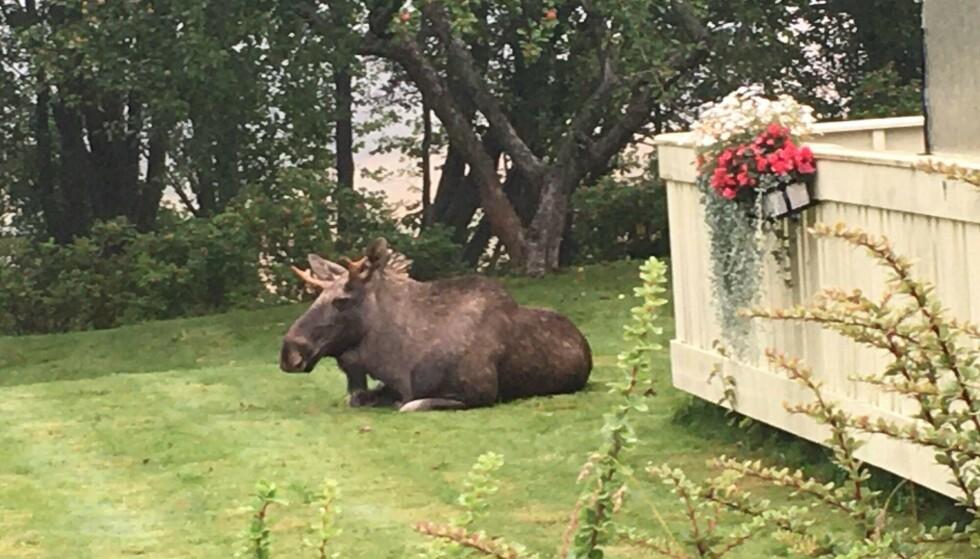 BERUSET: Elgen har vært på besøk de siste to dagene. Den skal ha opptrådd relativt beruset. Foto: Yvonne Tomlinson