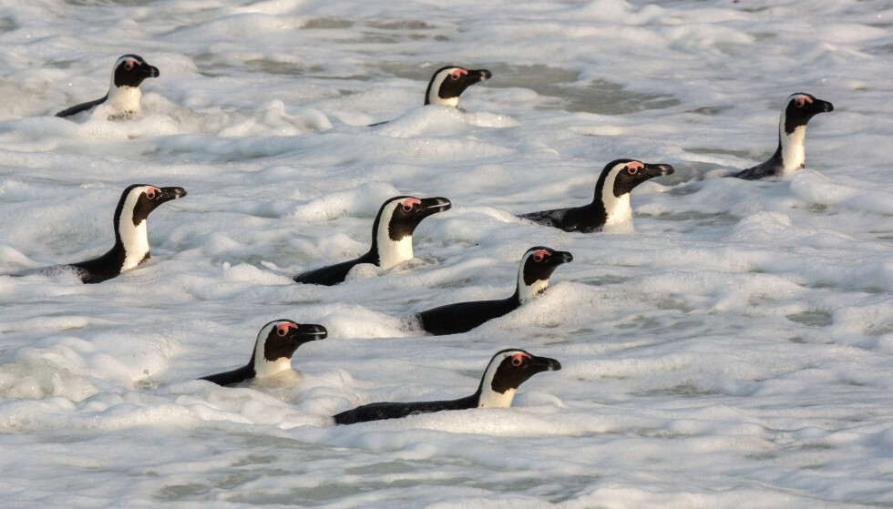 DREPT: 63 afrikanske kappingviner er drept i et sjeldent bieangrep. Foto: Ann Steve Toon / REX / NTB