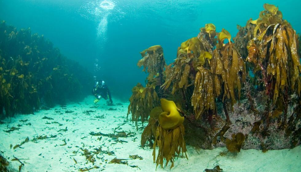 TARESKOG: WWF mener det er viktig å verne langt mer av den norske havbunnen for å nå klimaforpliktelsene. Foto: WWF.