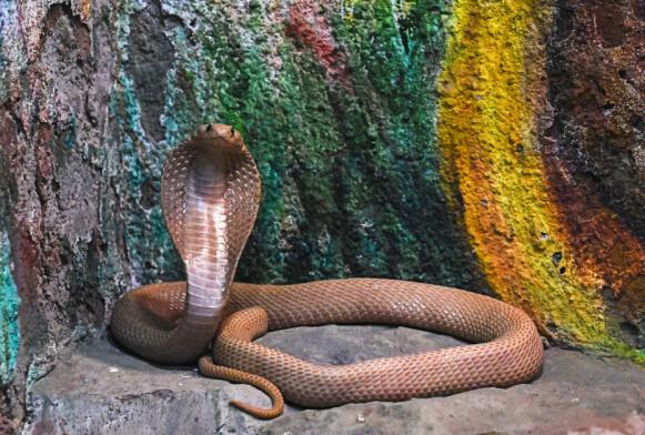 LIVSFARLIG: En kobraslange, som ikke hadde noe med drapet å gjøre, avbildet i dyreparken Kamla Nehru Zoological Garden i Ahmedabad. FOTO: NTB