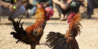 Image: Politimann drept av hane
