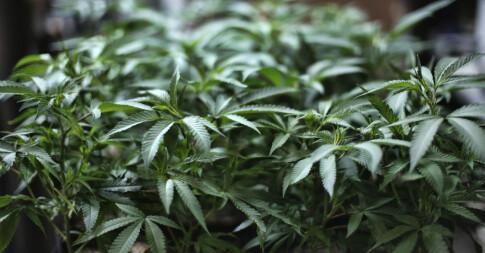 Image: FN: Cannabis ikke lenger farlig
