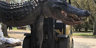 Image: Tragisk funn i alligatormage