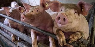 Image: Kuttet av penis og testikler - spist av gris