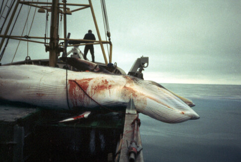 Image: Vil forby hvalfangst: - Skammelig
